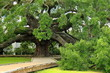 Famous mighty ancient oak in Jacksonville, Florida