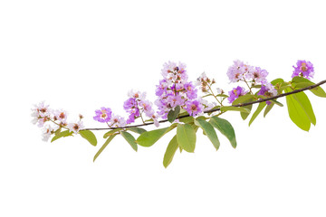 Lagerstroemia floribunda flower, also known as Thai crape myrtle and kedah bungor, is a species of flowering plant in the Lythraceae family. It is native of the tropical region of Southeast Asia © ducksmallfoto