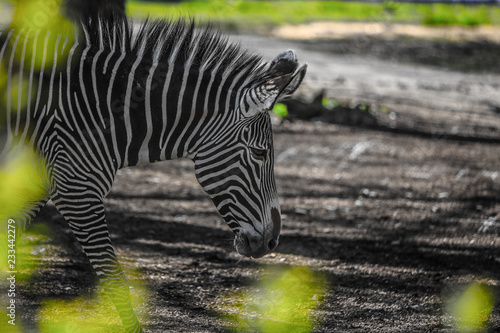 mata magnetyczna zebra