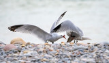 seagulls fighting over a fish - 233449000