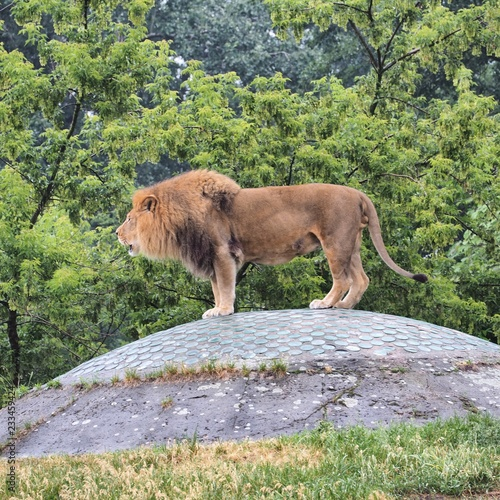 Wall mural lion at zoo