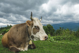 The cow lies on an alpine meadow high in the mountains. - 233467628