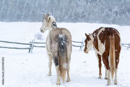 Two Paint Horses in the Snow