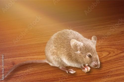 Szary myszy zwierzę na tle