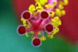 Ibiscus - 233472805