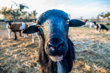 Schafe auf der Weide - 233477859