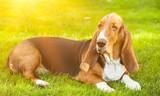 Basset Hound Laying on the Grass - 233482028