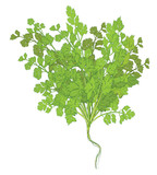 Coriander leaves on white background - 233490607