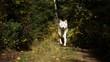 Powerful North American wolf in woodland wilderness