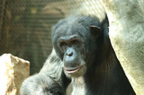A happy expression from Common chimpanzee in high branches. Sitting and relaxing after long day. He has black fur with grey stains - 233517438
