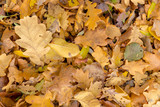 Autumnal colorful oak and beech leaves. Full frame as background - 233517456