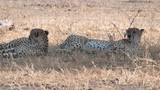 4K 60p panning shot of two cheetahs lying in shade at tarangire national park in tanzania - 233529490