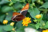 Papillon femelle Danaid Eggfly. Hypolimnas misippus sur une fleur