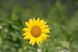 Sonnenblumen auf  dem Feld