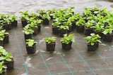 Flowers ready for planting - 233535240