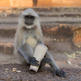 monkey langur hanuman sits on a stone and looks into the camera, close-up - 233546898