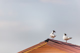 seagull on the roof and blue sky - 233550000