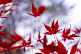 Leaves of red Japanese maple (Acer japonicum) in front of a blurred bright bokeh. - 233552251