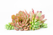 Arrangement of various types of succulent flowering houseplant white background