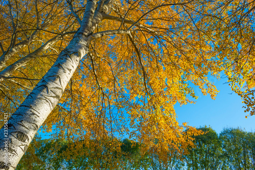 Foliage of deciduous trees in fall colors in sunlight in autumn