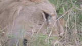 Close up Portrait of Lion resting in grass and eyes blinking in Maasai Mara  - 233571456