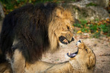 Lions mating - 233582450