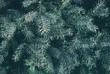 Christmas background. Green fir tree. - 233595463