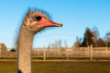 Ostrich Profile of head with red beak and neck on the farm. - 233610245