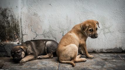 Vietnam Sad Dog