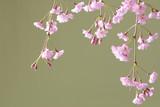 枝垂れ桜のクローズアップ - 233650477