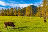 Kühe auf der Weide im Herbst - 233657040