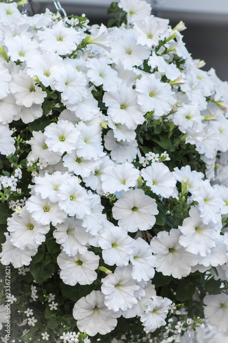 Close up background image of white petunia flowers in a hanging basket