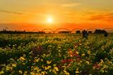 夕焼けコスモス © 秀成 高山