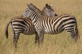 Zebra pair standing shoulder to shoulder © Bruce