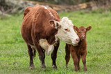 Momma Cow and Calf Sharing a Nuzzle - 233697643