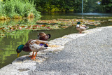 mallard ducks in front of a pond on the Mainau Island - 233714877