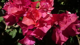 Red tropical flowers bougainvillea. Red flowers - 233732227