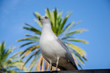 Portrait of seagull in a park of Naples on a palm tree background - 233734206