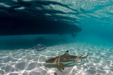 snorkeling with sharks in blue ocean of polynesia under the boat