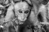 Face to face with an Indian Macaque - 233744230