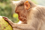 Macaque wondering if there's any coconut left
