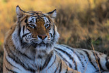 Portrait of a male tiger - Tiger Canyons Game Reserve - South Africa - 233757424