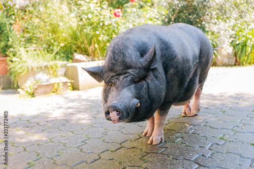 Obraz na płótnie Hausschwein