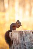 Squirrel, Sciurus vulgaris - 233776488