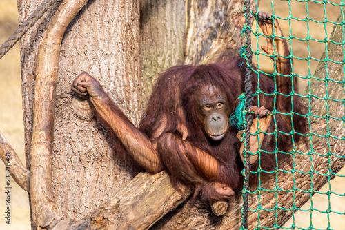 Obraz na płótnie orangutan