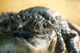 live crocodile in the terrarium - the eye is in focus, the rest is blurry - 233796618