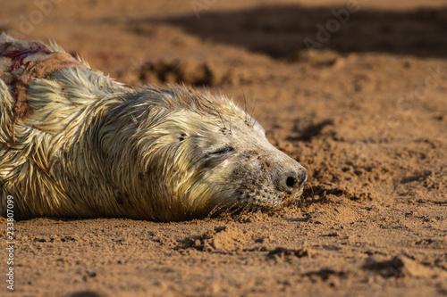 Grey Seal Pup na plaży