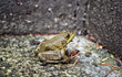 Green Frog (Lithobates clamitans) close-up in a corner