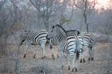 zebra © Avi