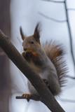Red squirrel in autumn park - 233829243